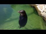 Тюлень - мастер суфийского кружения